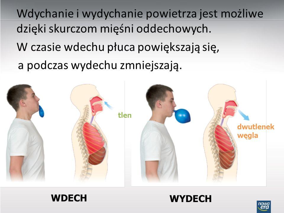 W czasie wdechu płuca powiększają się, a podczas wydechu zmniejszają.