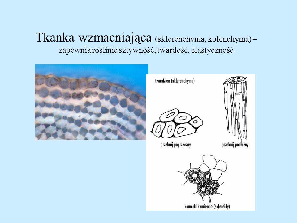 Tkanka wzmacniająca (sklerenchyma, kolenchyma) –