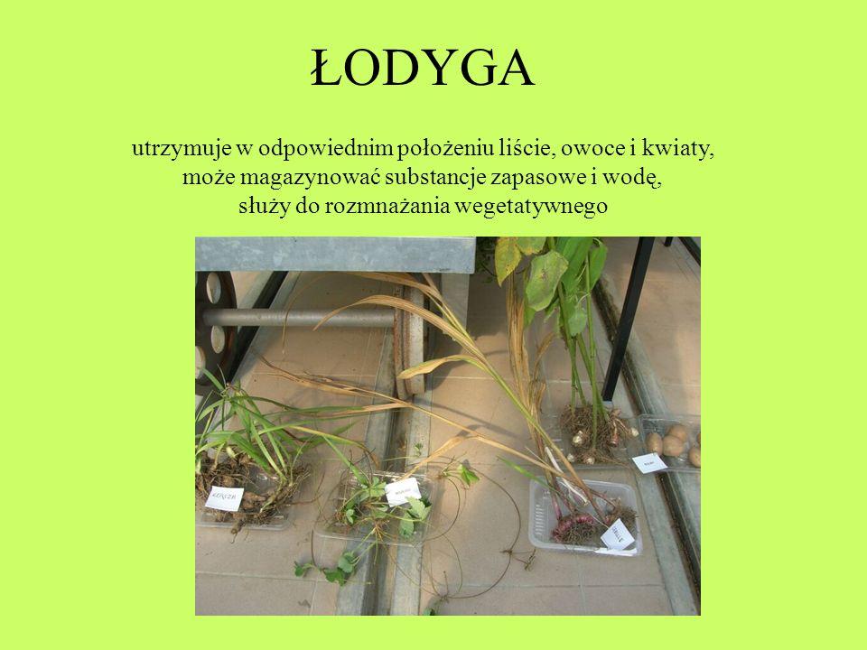 ŁODYGA utrzymuje w odpowiednim położeniu liście, owoce i kwiaty,