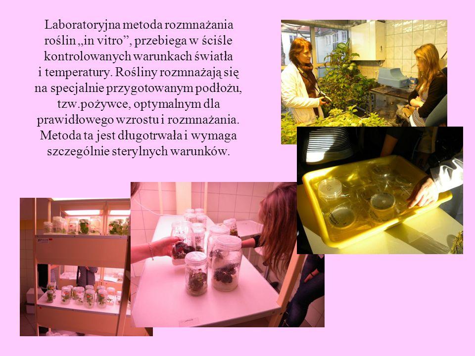 """Laboratoryjna metoda rozmnażania roślin """"in vitro , przebiega w ściśle kontrolowanych warunkach światła i temperatury."""