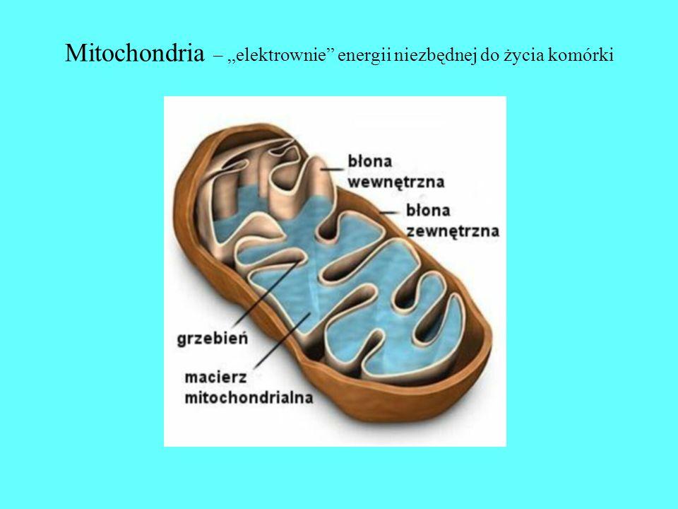 """Mitochondria – """"elektrownie energii niezbędnej do życia komórki"""