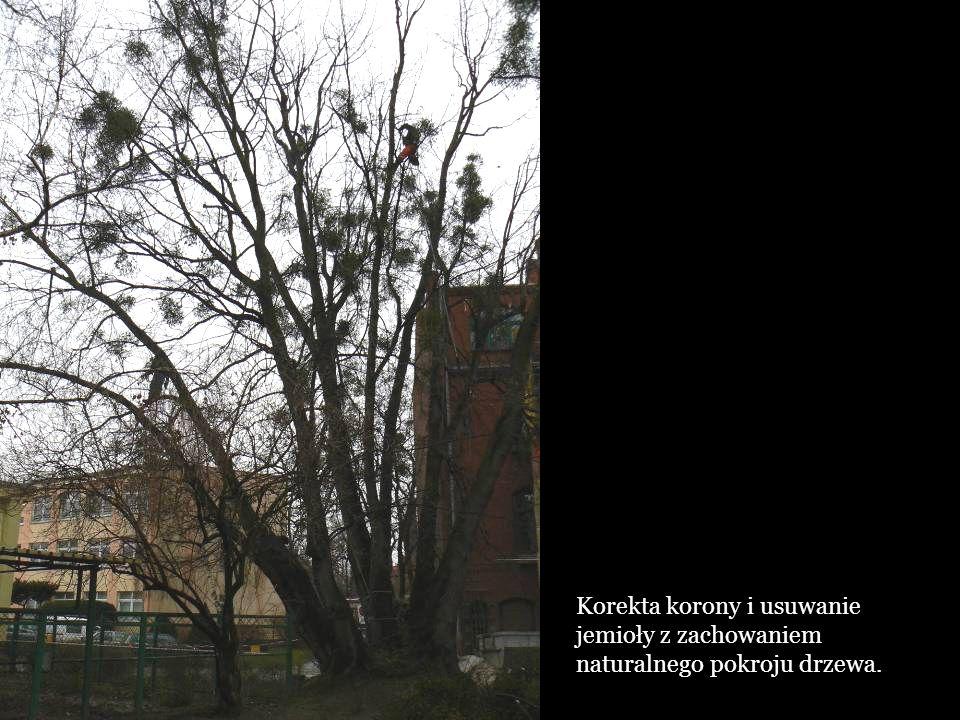 Korekta korony i usuwanie jemioły z zachowaniem naturalnego pokroju drzewa.