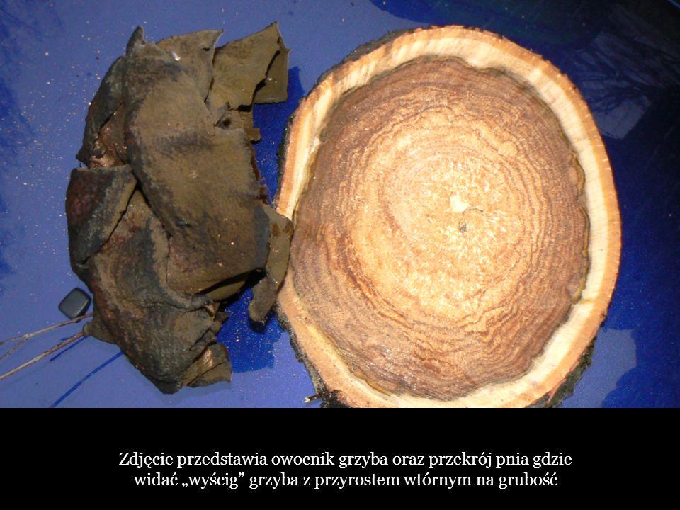 """Zdjęcie przedstawia owocnik grzyba oraz przekrój pnia gdzie widać """"wyścig grzyba z przyrostem wtórnym na grubość"""