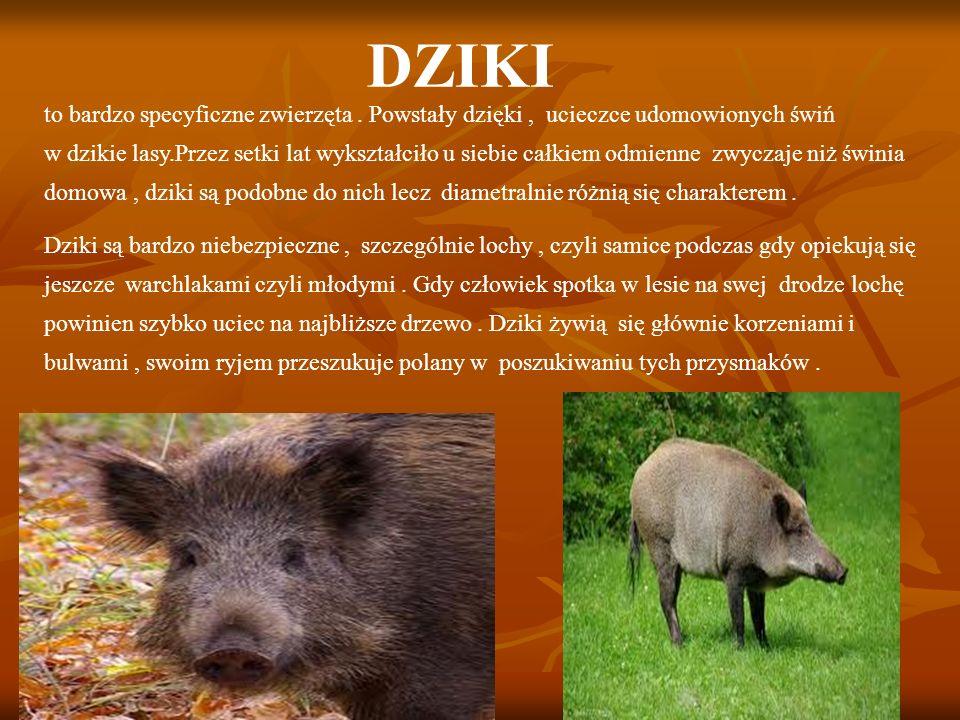 DZIKI