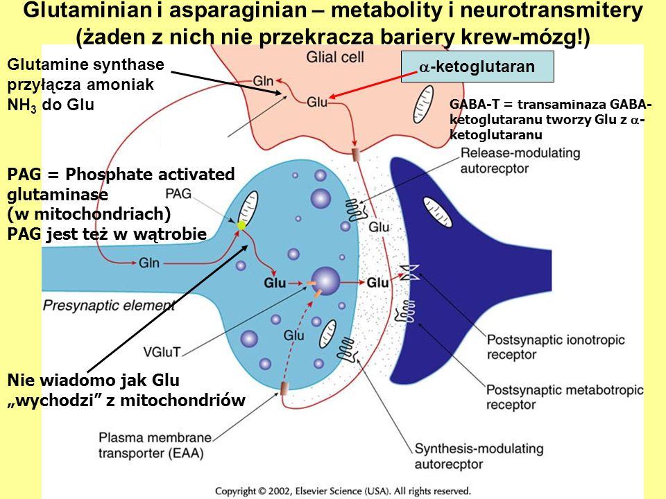 Glutamine synthase przyłącza amoniak NH3 do Glu