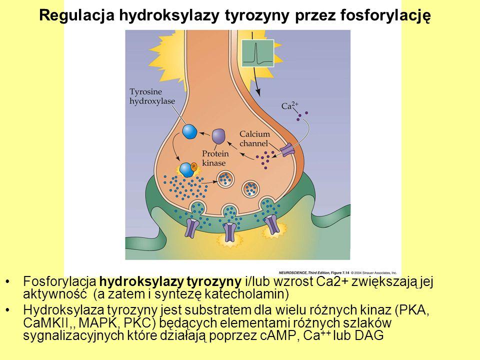 Regulacja hydroksylazy tyrozyny przez fosforylację