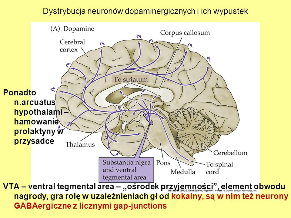 Dystrybucja neuronów dopaminergicznych i ich wypustek