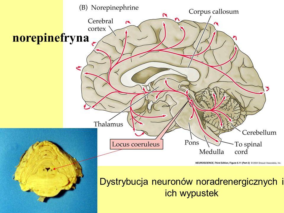 Dystrybucja neuronów noradrenergicznych i ich wypustek