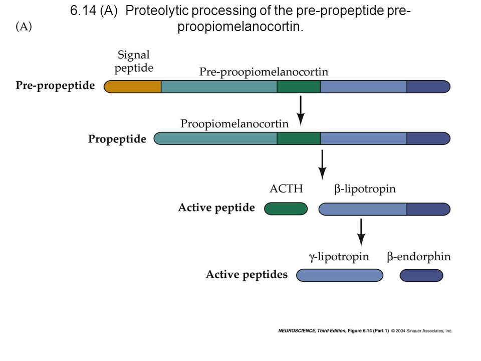 6.14 (A) Proteolytic processing of the pre-propeptide pre-proopiomelanocortin.