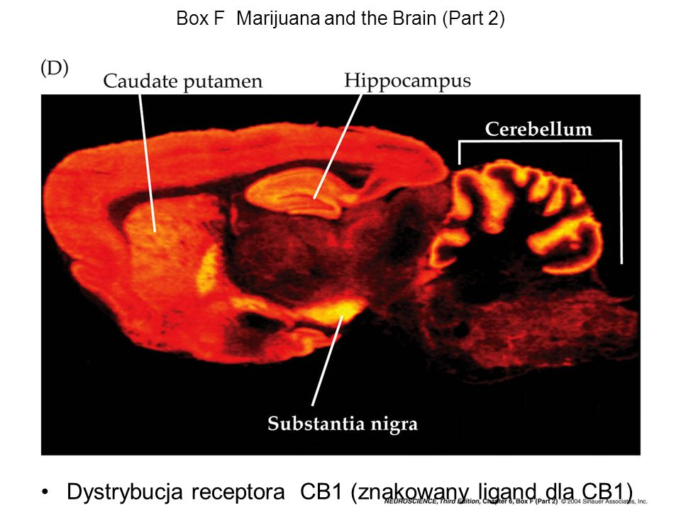 Box F Marijuana and the Brain (Part 2)