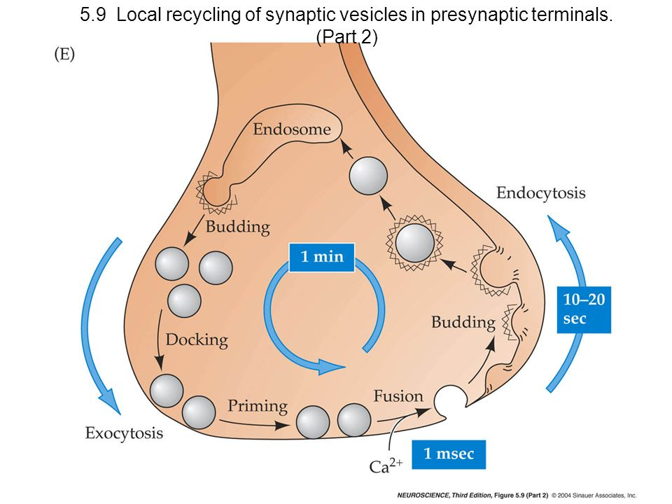5. 9 Local recycling of synaptic vesicles in presynaptic terminals