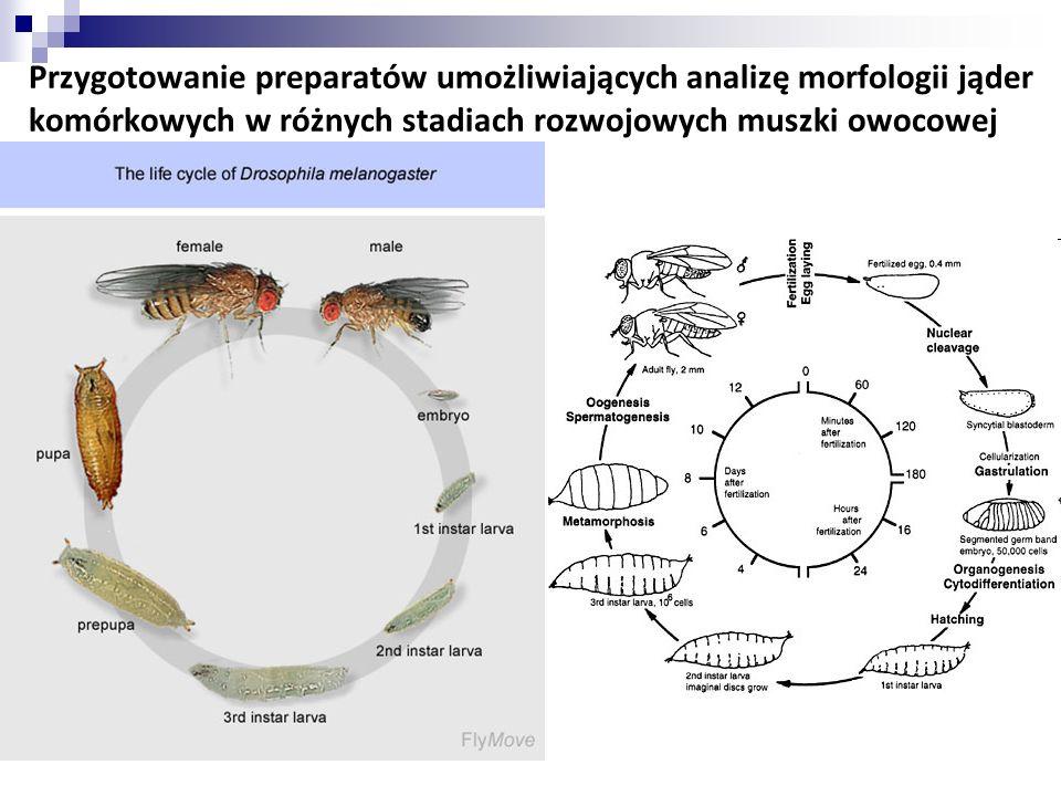 Przygotowanie preparatów umożliwiających analizę morfologii jąder komórkowych w różnych stadiach rozwojowych muszki owocowej