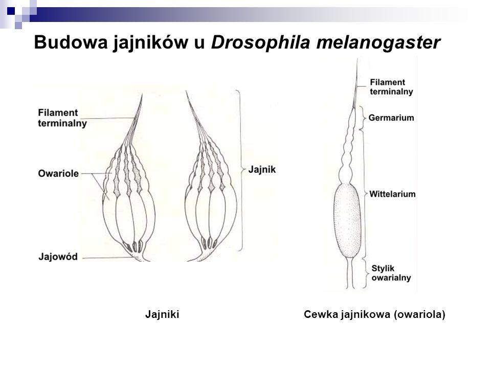 Budowa jajników u Drosophila melanogaster