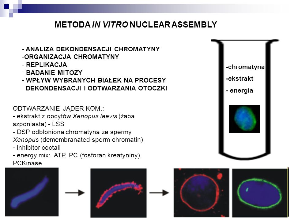 METODA IN VITRO NUCLEAR ASSEMBLY