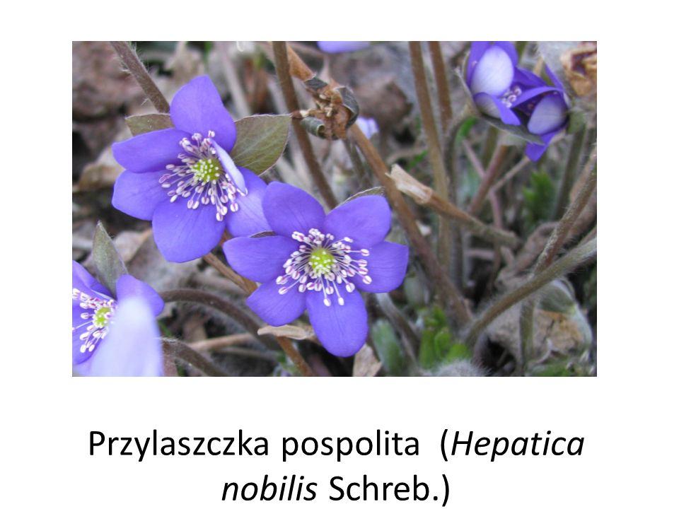 Przylaszczka pospolita (Hepatica nobilis Schreb.)