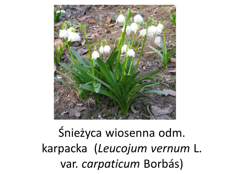 Śnieżyca wiosenna odm. karpacka (Leucojum vernum L. var