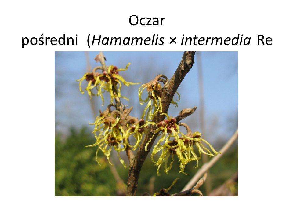 Oczar pośredni (Hamamelis × intermedia Rehder)