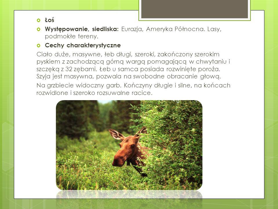 Łoś Występowanie, siedliska: Eurazja, Ameryka Północna. Lasy, podmokłe tereny. Cechy charakterystyczne.