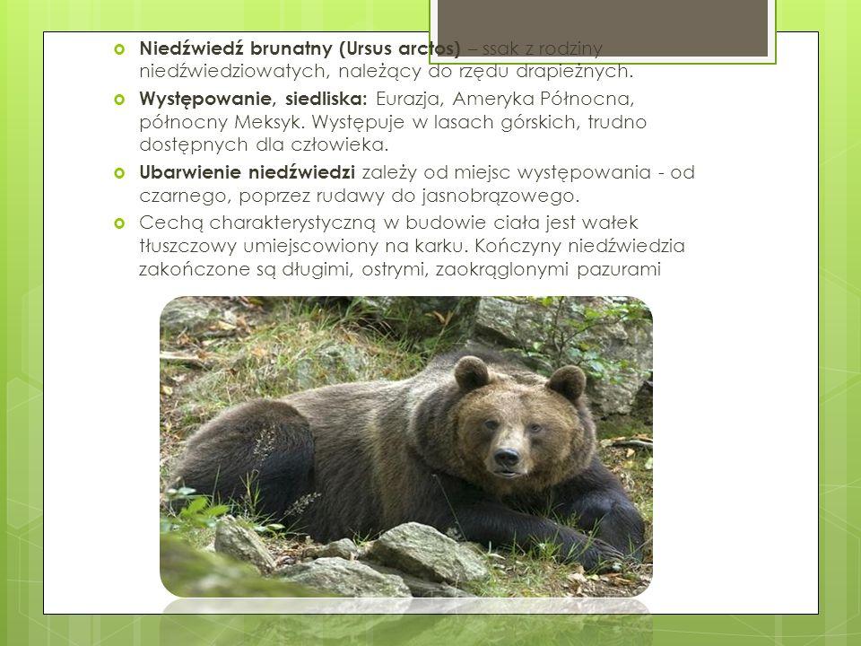 Niedźwiedź brunatny (Ursus arctos) – ssak z rodziny niedźwiedziowatych, należący do rzędu drapieżnych.