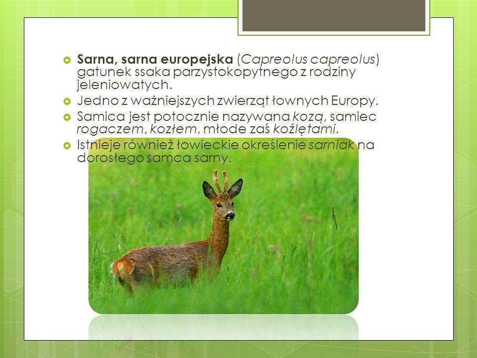 Sarna, sarna europejska (Capreolus capreolus) gatunek ssaka parzystokopytnego z rodziny jeleniowatych.