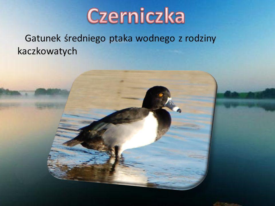 Czerniczka Gatunek średniego ptaka wodnego z rodziny kaczkowatych