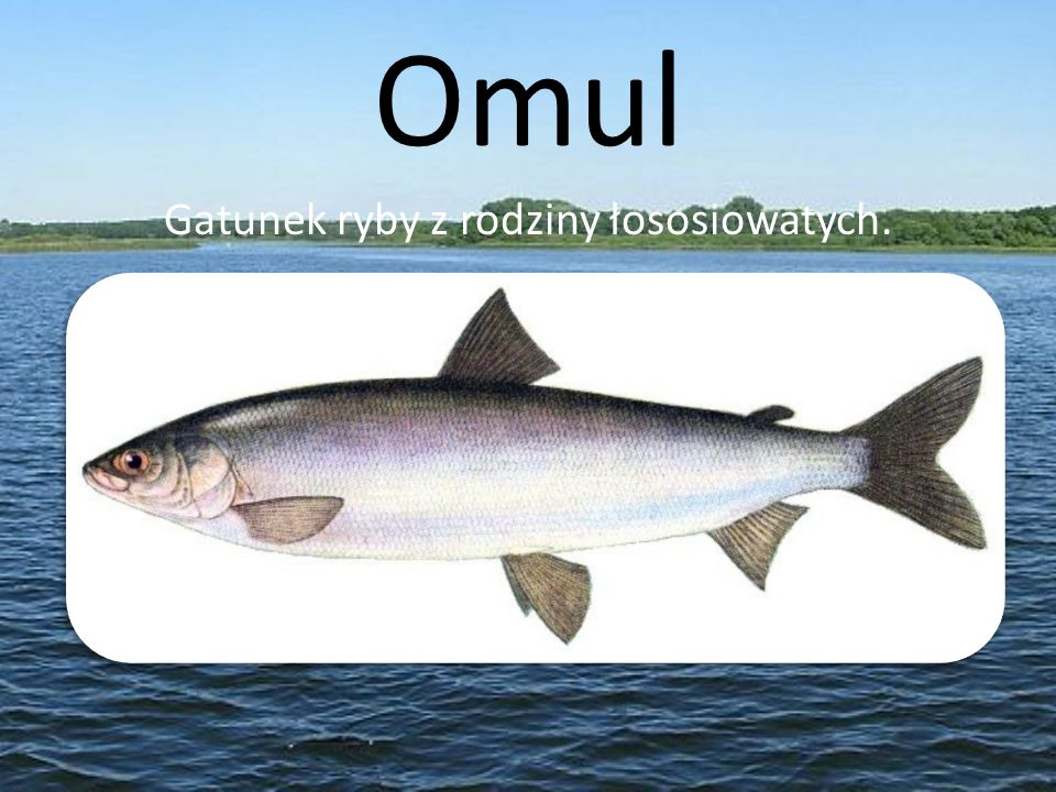 Gatunek ryby z rodziny łososiowatych.