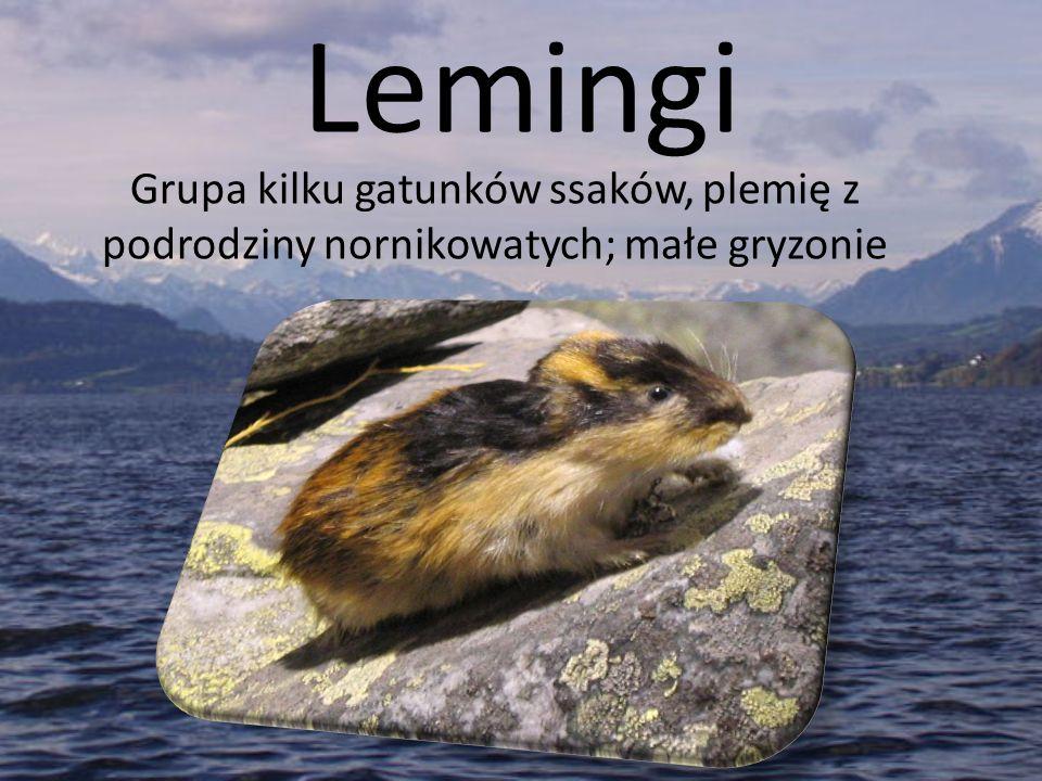 Lemingi Grupa kilku gatunków ssaków, plemię z podrodziny nornikowatych; małe gryzonie