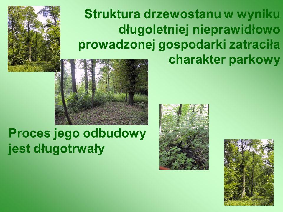 Struktura drzewostanu w wyniku długoletniej nieprawidłowo prowadzonej gospodarki zatraciła charakter parkowy