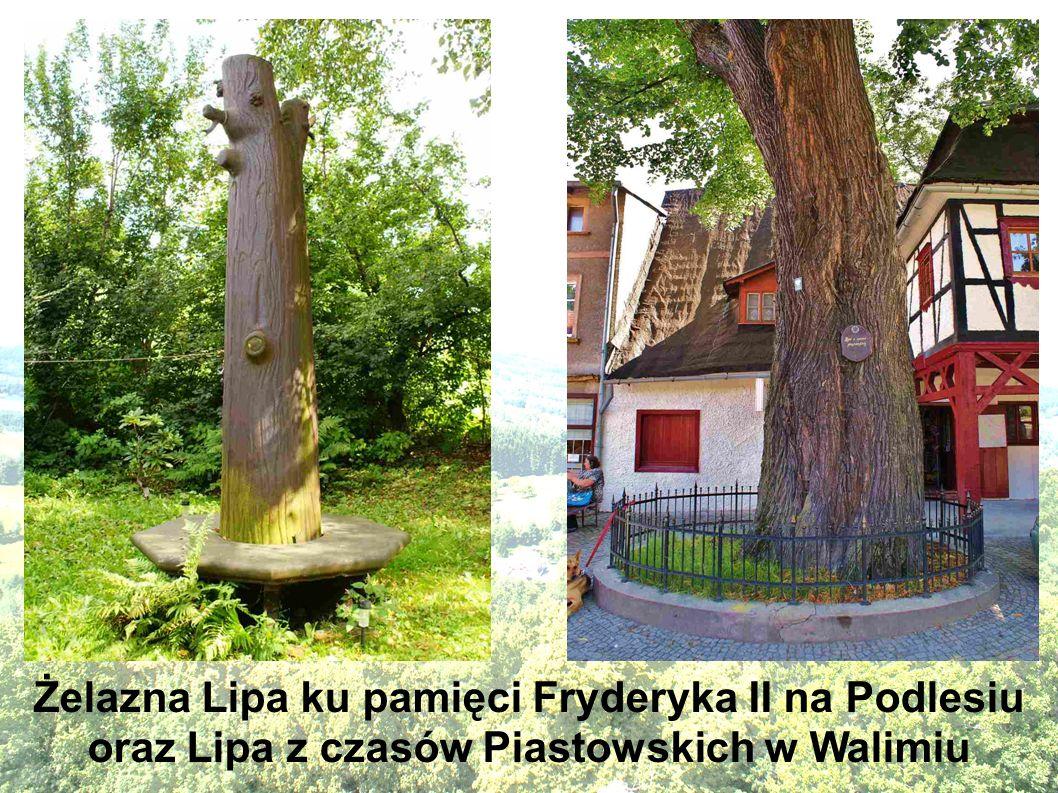 Żelazna Lipa ku pamięci Fryderyka II na Podlesiu oraz Lipa z czasów Piastowskich w Walimiu