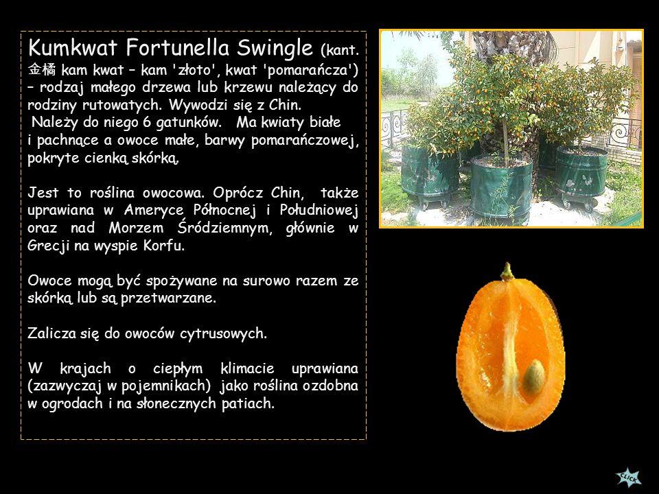 Kumkwat Fortunella Swingle (kant