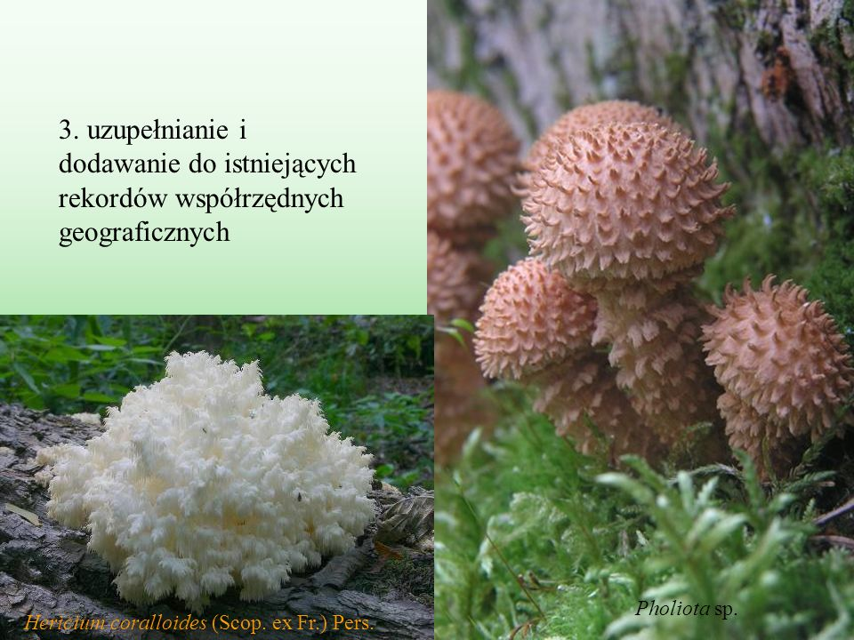 Hericium coralloides (Scop. ex Fr.) Pers.
