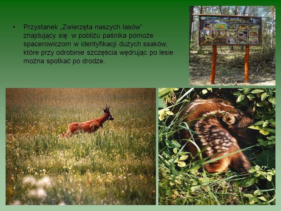 """Przystanek """"Zwierzęta naszych lasów znajdujący się w pobliżu paśnika pomoże spacerowiczom w identyfikacji dużych ssaków, które przy odrobinie szczęścia wędrując po lesie można spotkać po drodze."""
