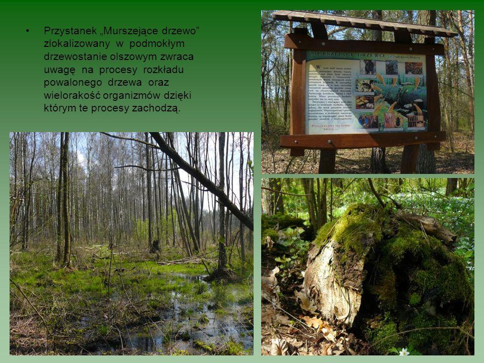 """Przystanek """"Murszejące drzewo zlokalizowany w podmokłym drzewostanie olszowym zwraca uwagę na procesy rozkładu powalonego drzewa oraz wielorakość organizmów dzięki którym te procesy zachodzą."""