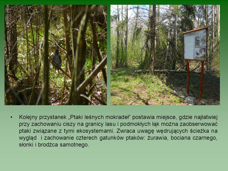 """Kolejny przystanek """"Ptaki leśnych mokradeł postawia miejsce, gdzie najłatwiej przy zachowaniu ciszy na granicy lasu i podmokłych łąk można zaobserwować ptaki związane z tymi ekosystemami."""