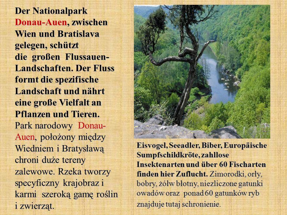 Der Nationalpark Donau-Auen, zwischen Wien und Bratislava gelegen, schützt die großen Flussauen- Landschaften. Der Fluss formt die spezifische Landschaft und nährt eine große Vielfalt an Pflanzen und Tieren. Park narodowy Donau- Auen, położony między Wiedniem i Bratysławą chroni duże tereny zalewowe. Rzeka tworzy specyficzny krajobraz i karmi szeroką gamę roślin i zwierząt.