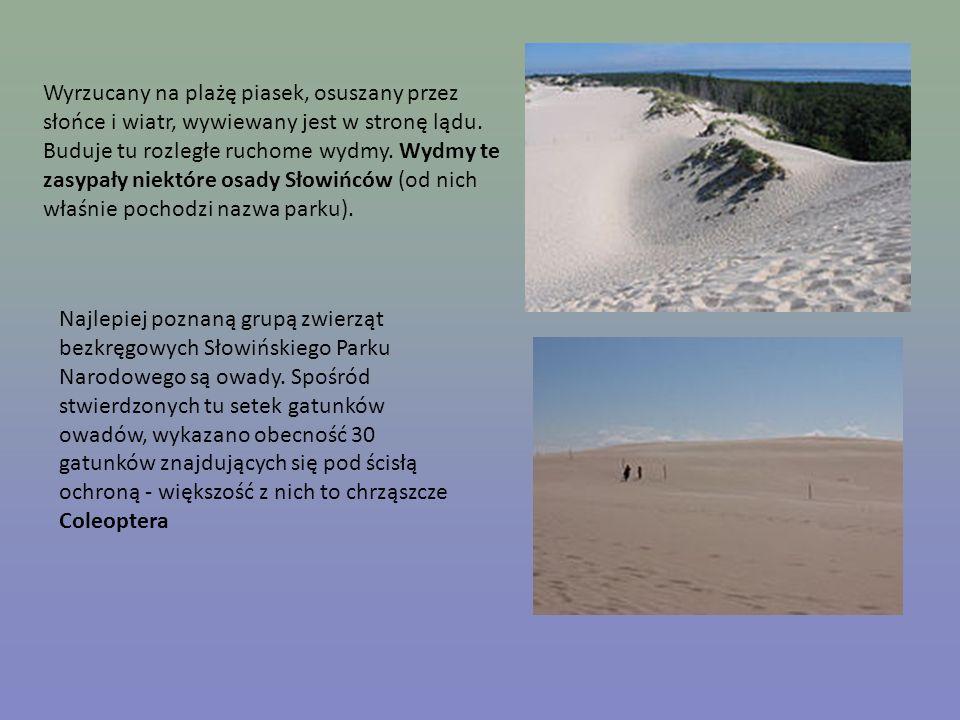 Wyrzucany na plażę piasek, osuszany przez słońce i wiatr, wywiewany jest w stronę lądu. Buduje tu rozległe ruchome wydmy. Wydmy te zasypały niektóre osady Słowińców (od nich właśnie pochodzi nazwa parku).