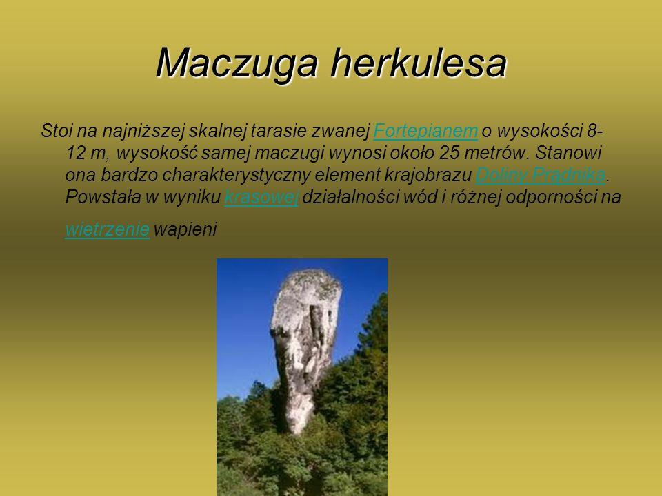 Maczuga herkulesa