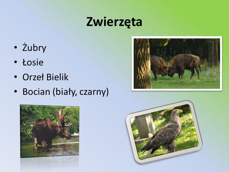 Zwierzęta Żubry Łosie Orzeł Bielik Bocian (biały, czarny)