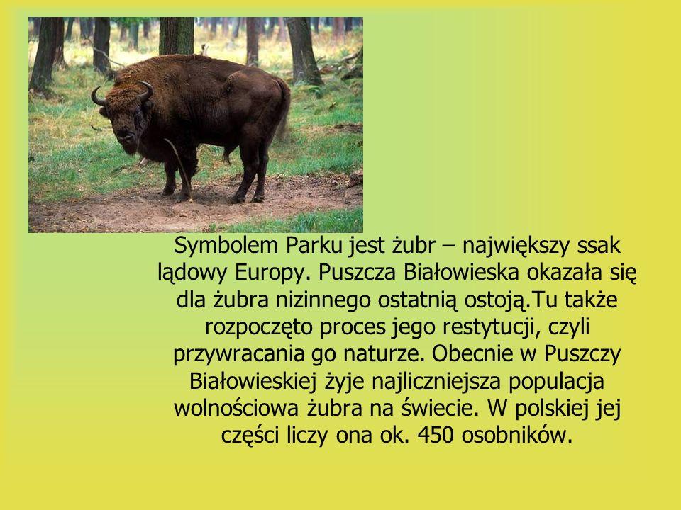 Symbolem Parku jest żubr – największy ssak lądowy Europy