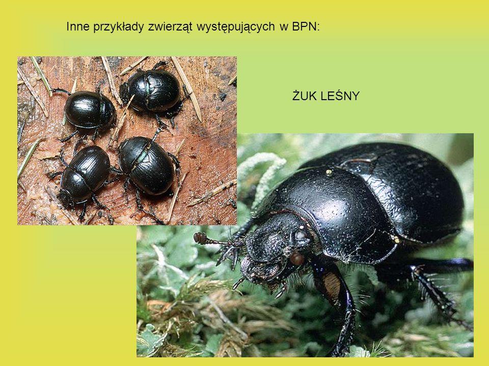 Inne przykłady zwierząt występujących w BPN: