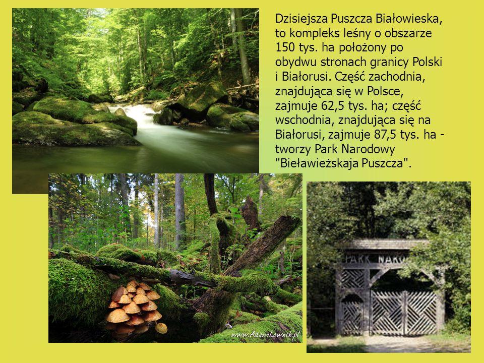 Dzisiejsza Puszcza Białowieska, to kompleks leśny o obszarze 150 tys