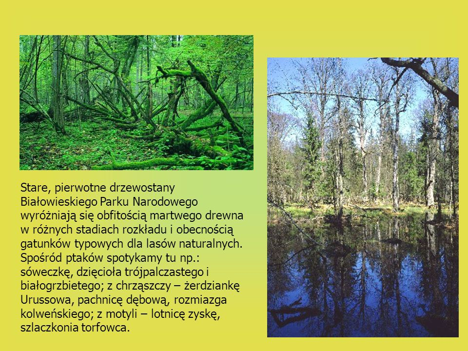 Stare, pierwotne drzewostany Białowieskiego Parku Narodowego wyróżniają się obfitością martwego drewna w różnych stadiach rozkładu i obecnością gatunków typowych dla lasów naturalnych.