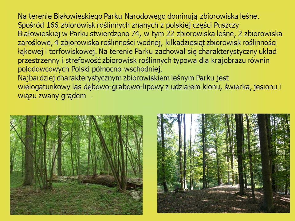 Na terenie Białowieskiego Parku Narodowego dominują zbiorowiska leśne