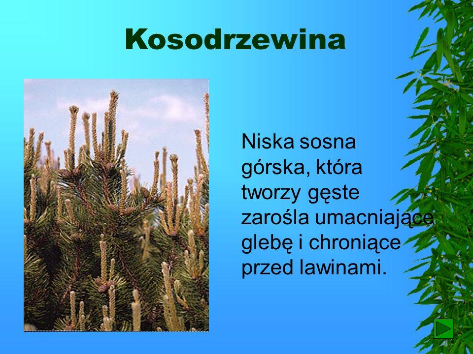 Kosodrzewina Niska sosna górska, która tworzy gęste zarośla umacniające glebę i chroniące przed lawinami.