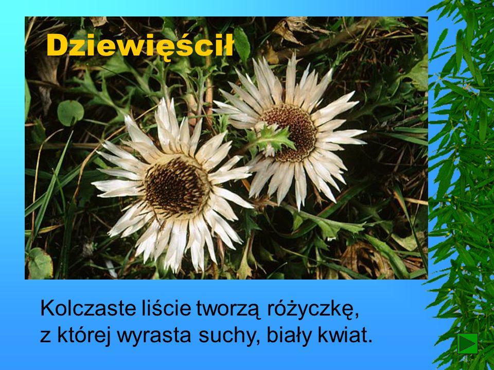 Dziewięścił Kolczaste liście tworzą różyczkę, z której wyrasta suchy, biały kwiat. 11