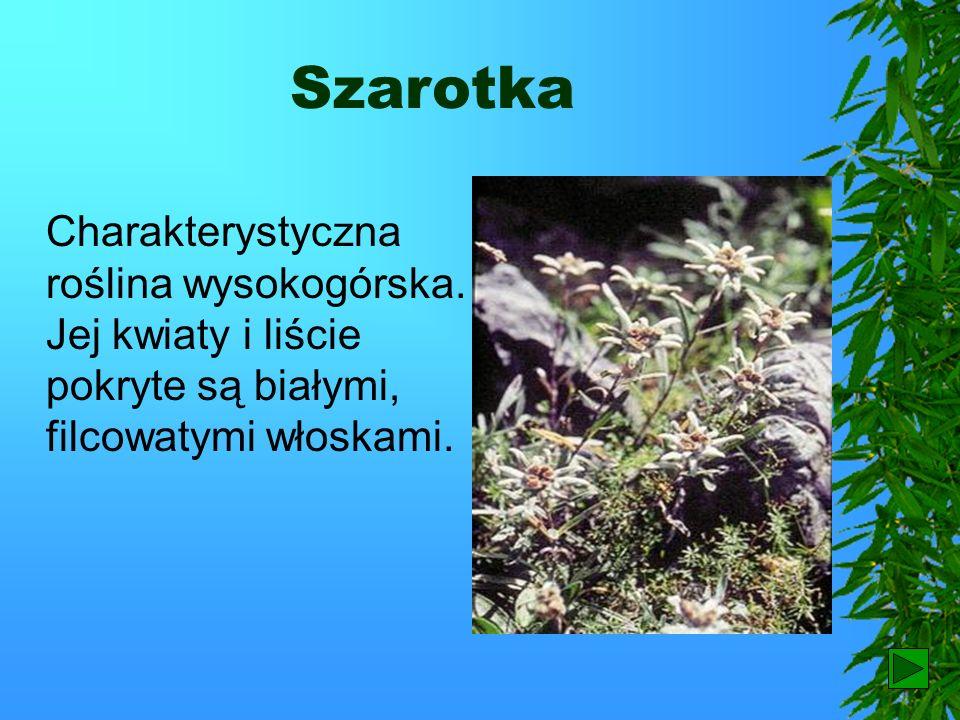 SzarotkaCharakterystyczna roślina wysokogórska. Jej kwiaty i liście pokryte są białymi, filcowatymi włoskami.