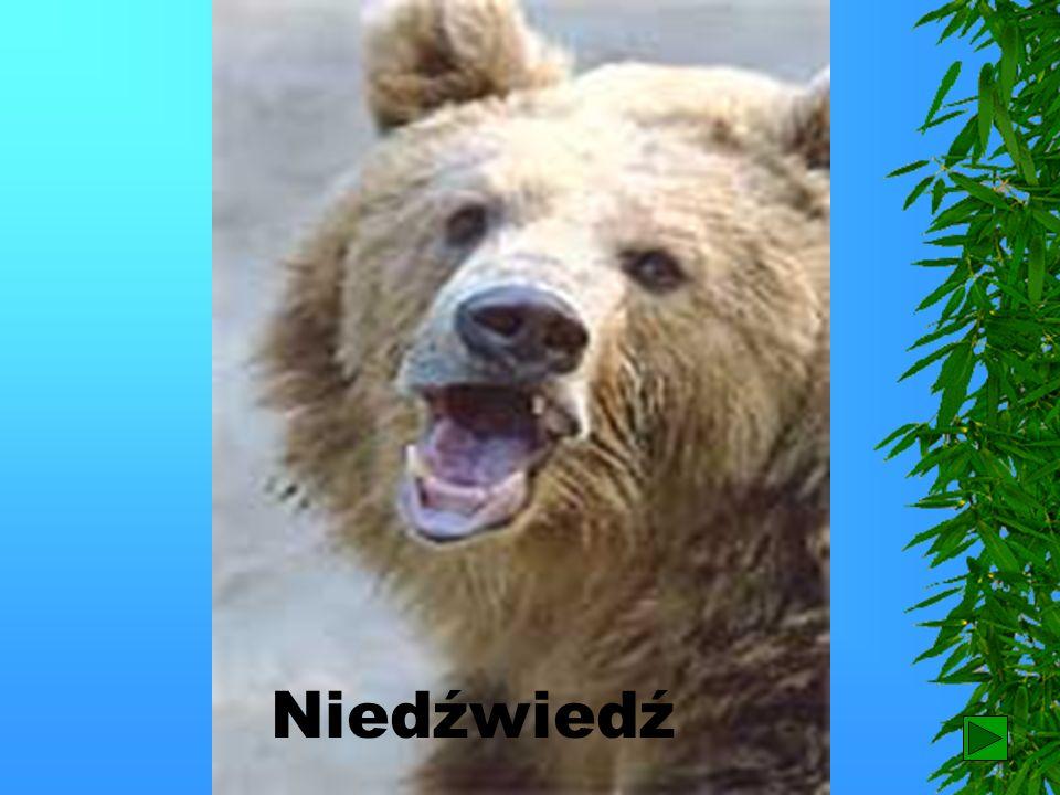 Niedźwiedź 17
