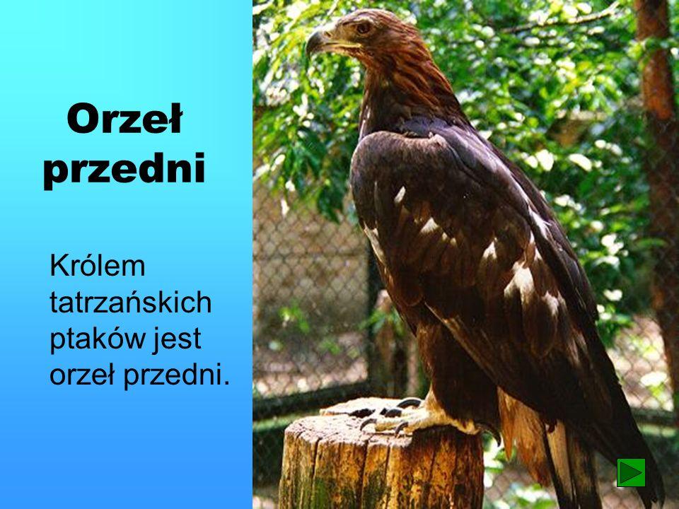 Orzeł przedni Królem tatrzańskich ptaków jest orzeł przedni. 18