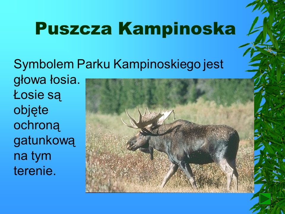 Puszcza KampinoskaSymbolem Parku Kampinoskiego jest głowa łosia. Łosie są objęte ochroną gatunkową na tym terenie.
