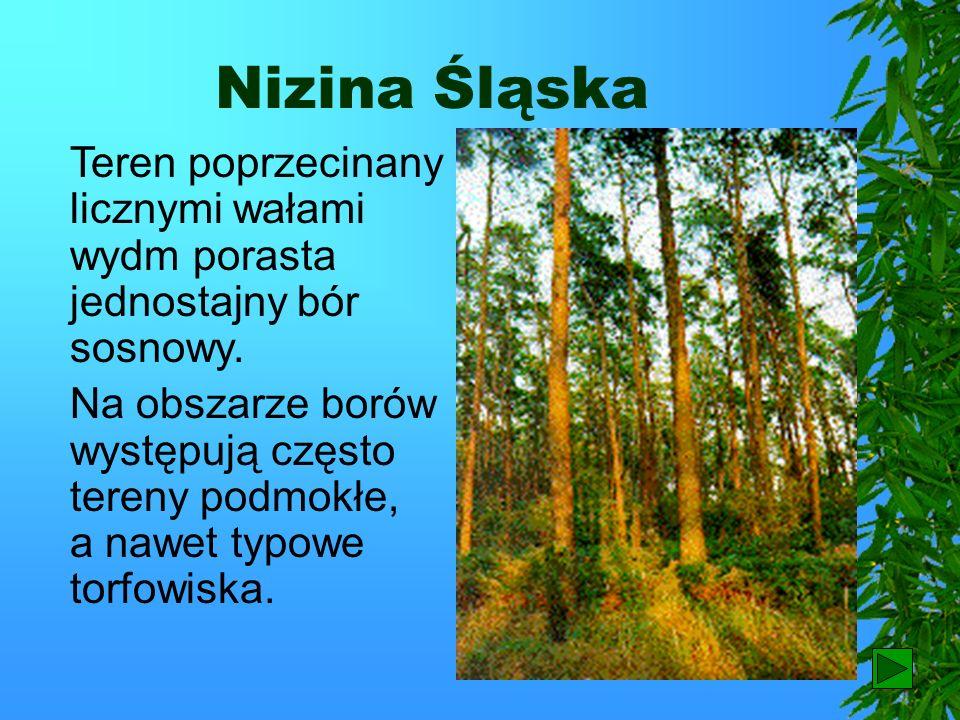 Nizina Śląska Teren poprzecinany licznymi wałami wydm porasta jednostajny bór sosnowy.